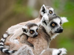 madagaskar_lemur_glowne