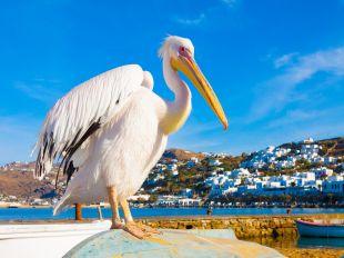 Famous Pelican Petros in Mykonos island Greece Cyclades